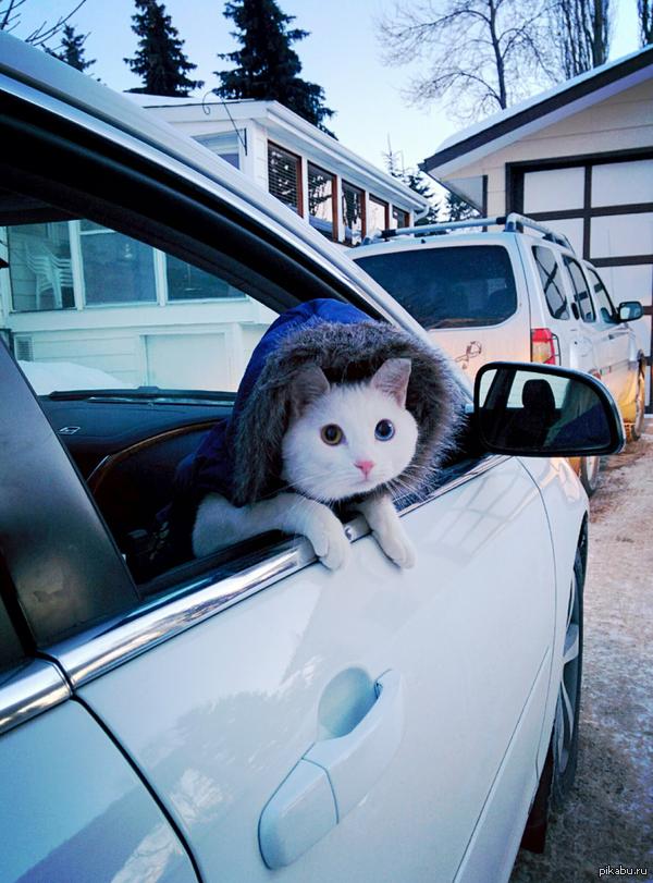 Очень любит ездить в авто   кот, фото