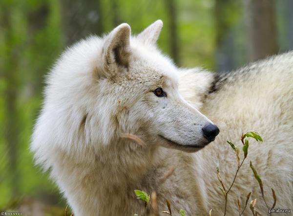 Seehara, The Amber Wolf 1399326146_925789108