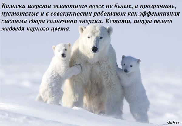 Не верь глазам своим белый медведь
