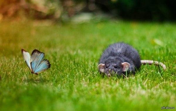 Маленький охотник   мышь, охота, крыса
