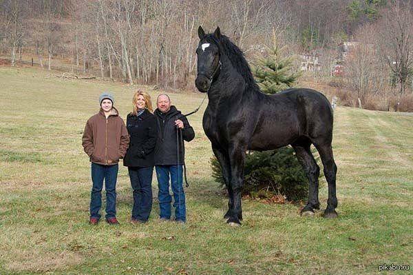 Лошадь породы Першерон   лошадь, першерон