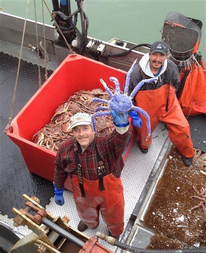 На Аляске поймали редкого краба голубого цвета