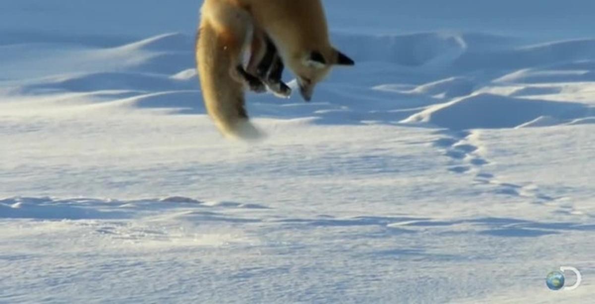 видео лиса ловит мышей в глубоком снегу